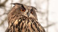 owl with great orange eyes