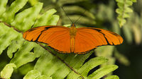 Julia Heliconian (Dryas iulia) butterfly