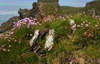 Blumen vor der historischen Burg - Tintagel - Cornwall