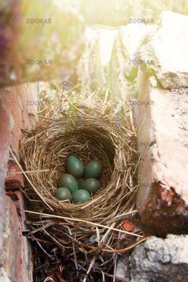 Nest with six eggs clutch of thrush - Redwing