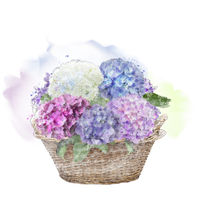 hydrangea flowers in a basket.Watercolor .