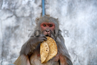 Funny macaque female h stolen tortilla in her mouth.