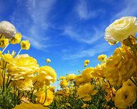 The buttercups bloom on a farm field