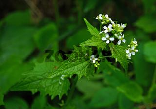 Knoblauchsrauke, Alliaria petiolata, garlic mustard