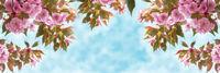 Sakura flower cherry blossom closeup over the sky panoramic. Greeting card template. Shallow depth. Soft toned. Spring nature background