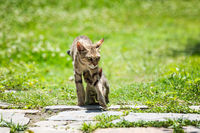 Mother cat walking with its kitten