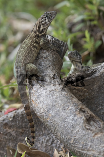 northern curly-tailed lizard that sits a tree trunk in the shade of a bright sunny day