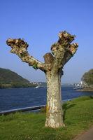 Platane am Rheinufer im Mittelrheintal bei Andernach