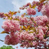 Blühende Japanische Kirsche vor blauen Himmel