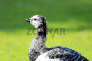 Young Barnacle Goose against Green Meadow