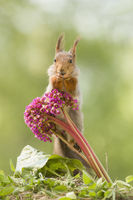 red squirrel is sitting on a Bergenia