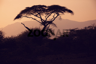 Acacia tree silhouette in african sunset