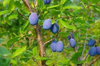 Pflaume Baum - plum tree 11