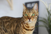 Beautiful bengal cat on white kitchen table  with the plant