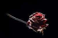 Rose liegend auf Schwar beleuchtet