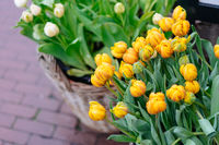 Yellow tulips with green leaves. Spring flowers closeup
