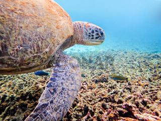 Underwater photos of Green Sea Turtle