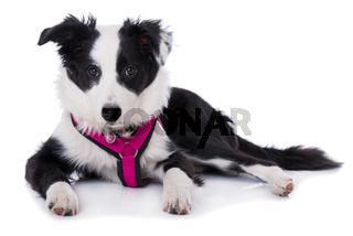 Border Collie Welpe mit Hundegeschirr isoliert auf weißem Grund