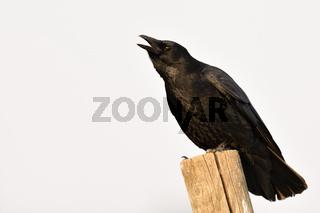 kräh, käh...  Rabenkrähe * Corvus corone *, auch Aaskrähe genannt