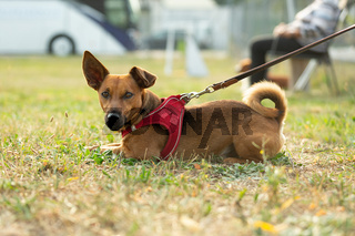 A young brown mixed breed dog waiting and sitting on a green meadow in dogschool area. Age almost 2 years.