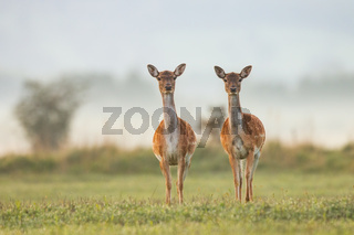 Two female fallow deer in autumn colors at sunrise