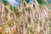 grain in a farm field and sun