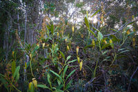View to pitcher plant of Nepenthes,Atsinanana region, Madagascar
