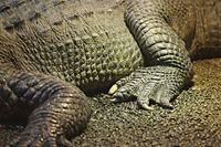 Crocodile detail closeup