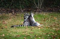 Lemurs play outside on a meadow
