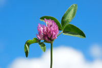 Purple clover flower