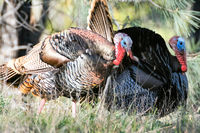 Wild Turkey Couple in the wilderness of Henry Coe State Park.