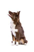 red Miniature American Shepherd dog