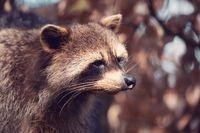 portrait of North American raccoon