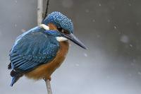 im Schneetreiben... Eisvogel * Alcedo atthis *