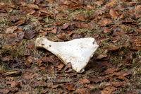 Faded bone lies in the fall foliage