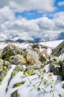 Weiße Blume im Alpen Gebirge