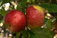 Apfel Sorte Topas