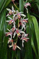 Orchidee, Cymbidium Hybride, Showgirl, Orchid,