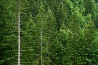 Wald mit Fichten und anderen Bäumen
