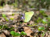 Brimstone butterfly (Gonepteryx rhamni) came