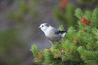 Gray Jay - Perisoreus canadensis, perched in a tree Glacier NP Montana