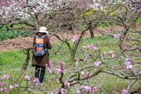 Chinese photographer taking photos of peach blossom trees