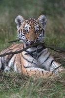 Sibirischer Tigerjunges (Panthera Tigris Altaica)