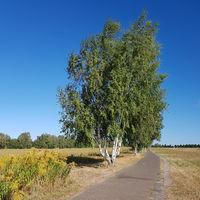 Birken am Mauerweg in Blankenfelde im Spätsommer