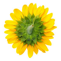 The Bottom of Sunflower Isolated on White Background