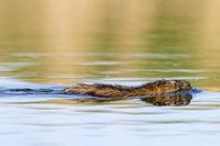 Bisamratte im Wasser / Ondatra zibethicus
