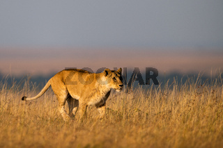Lioness walks in long grass on horizon