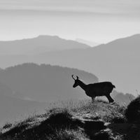 Chamois standing on the ridge of Mount Niederhorn, Switzerland. Early morning.