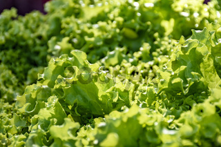 Green and fresh organic lettuce leaves