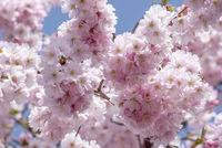 Japanische Bluetenkirsche (Prunus serrulata)